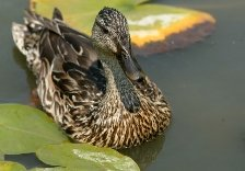Cancer sign: duck