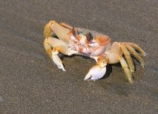 Cancer Sign: crab