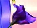 Aquarius sign: lavender