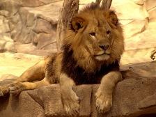 Leo sign: lion