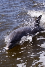 Pisces sign: dolphin