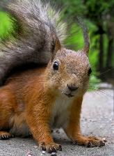 Virgo sign: squirrel