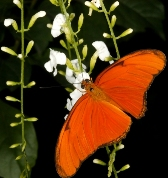 Gemini sign: butterfly