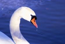 Libra sign: swan