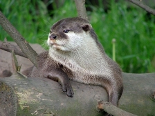 Pisces sign: otter
