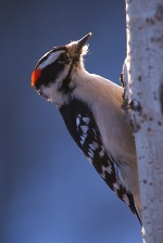 Taurus sign: woodpecker