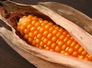 Virgo sign: Corn