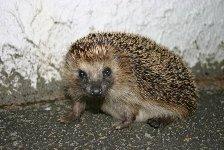Aries sign: porcupine