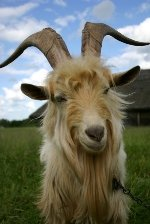 Capricorn sign: goat