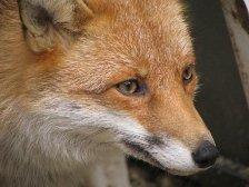 Gemini sign: fox