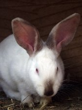 Libra sign: rabbit