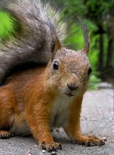 Virgo sign: squirrel