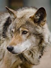 Aries sign: wolf