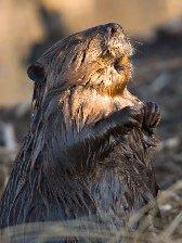 Capricorn sign: beaver