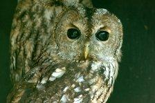 Scorpio sign: owl