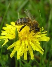 Virgo sign: bee