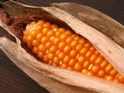 Virgo sign: Corn